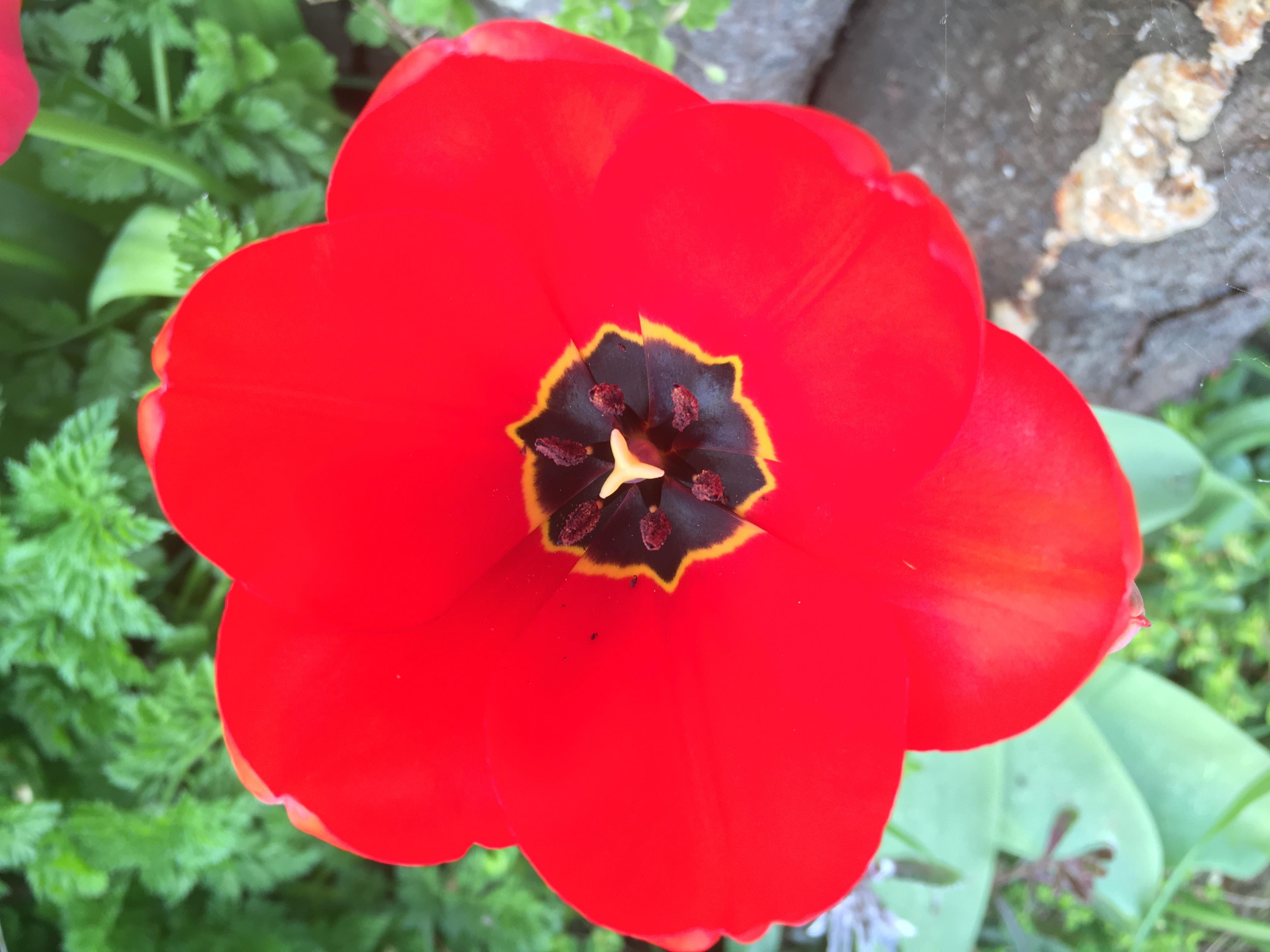 Tulipe rouge printemps 2020 langeviniere