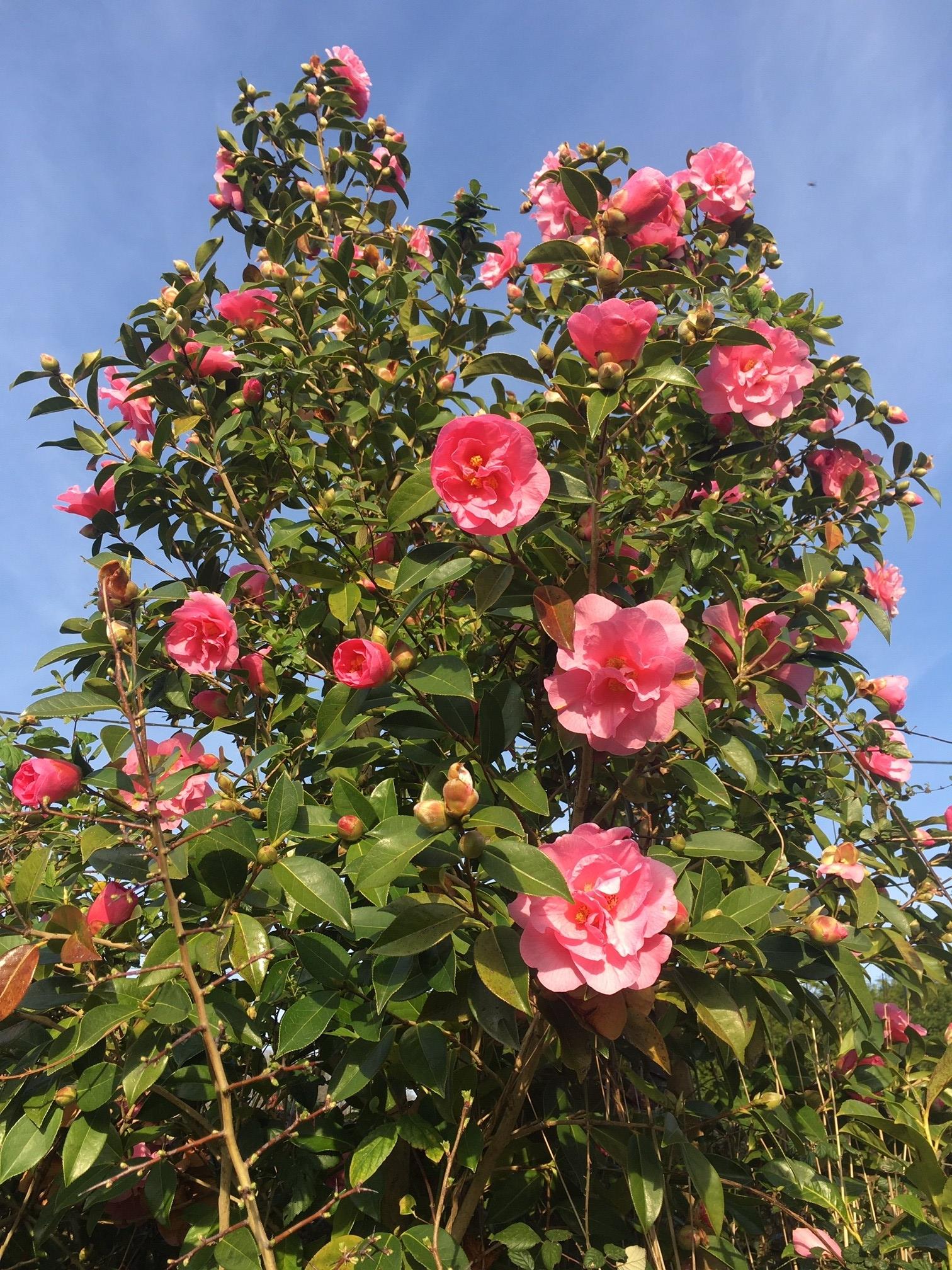 Camelia rose en fleurs printemps 2020