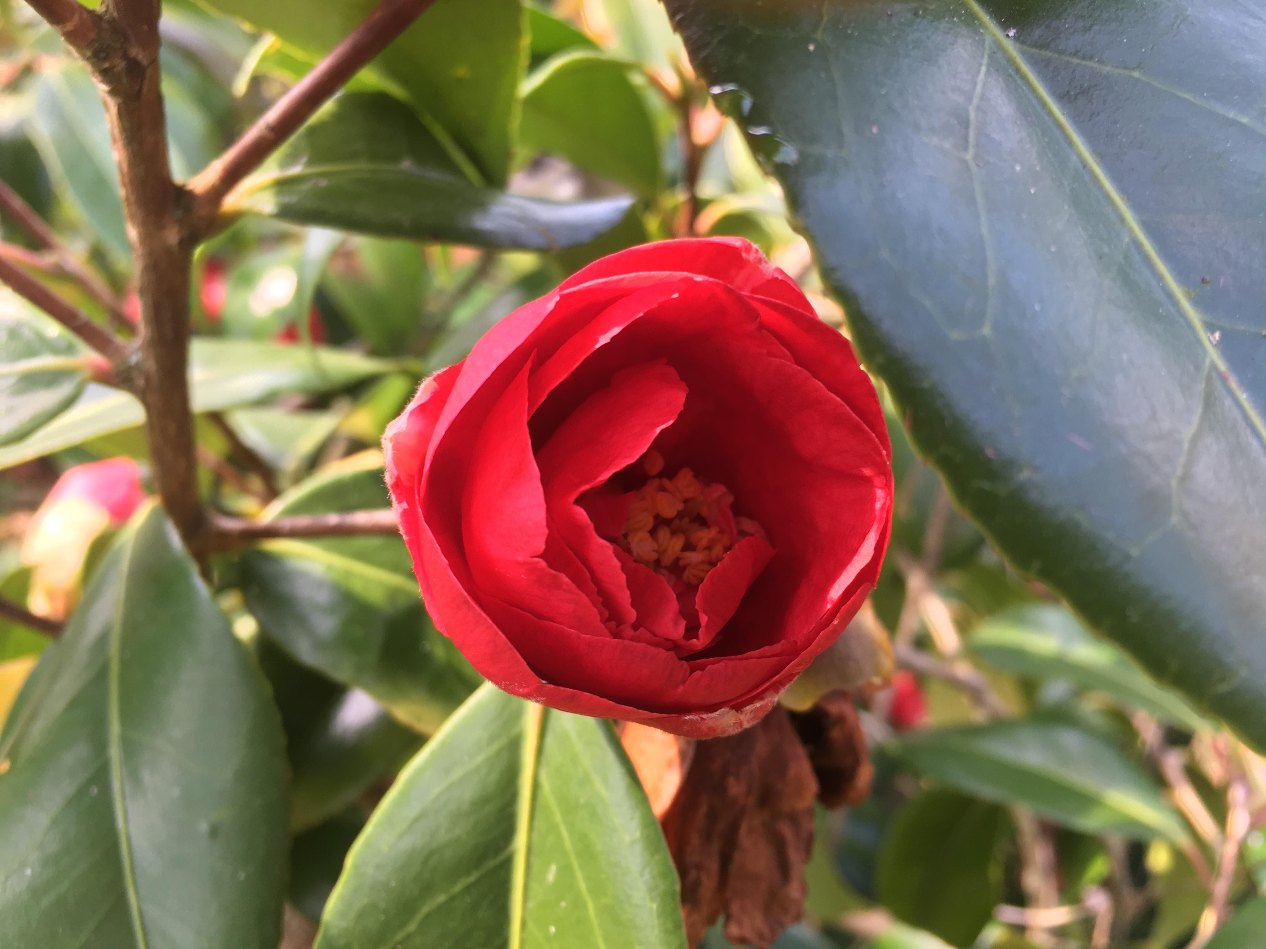 Fleur de Camélia rouge