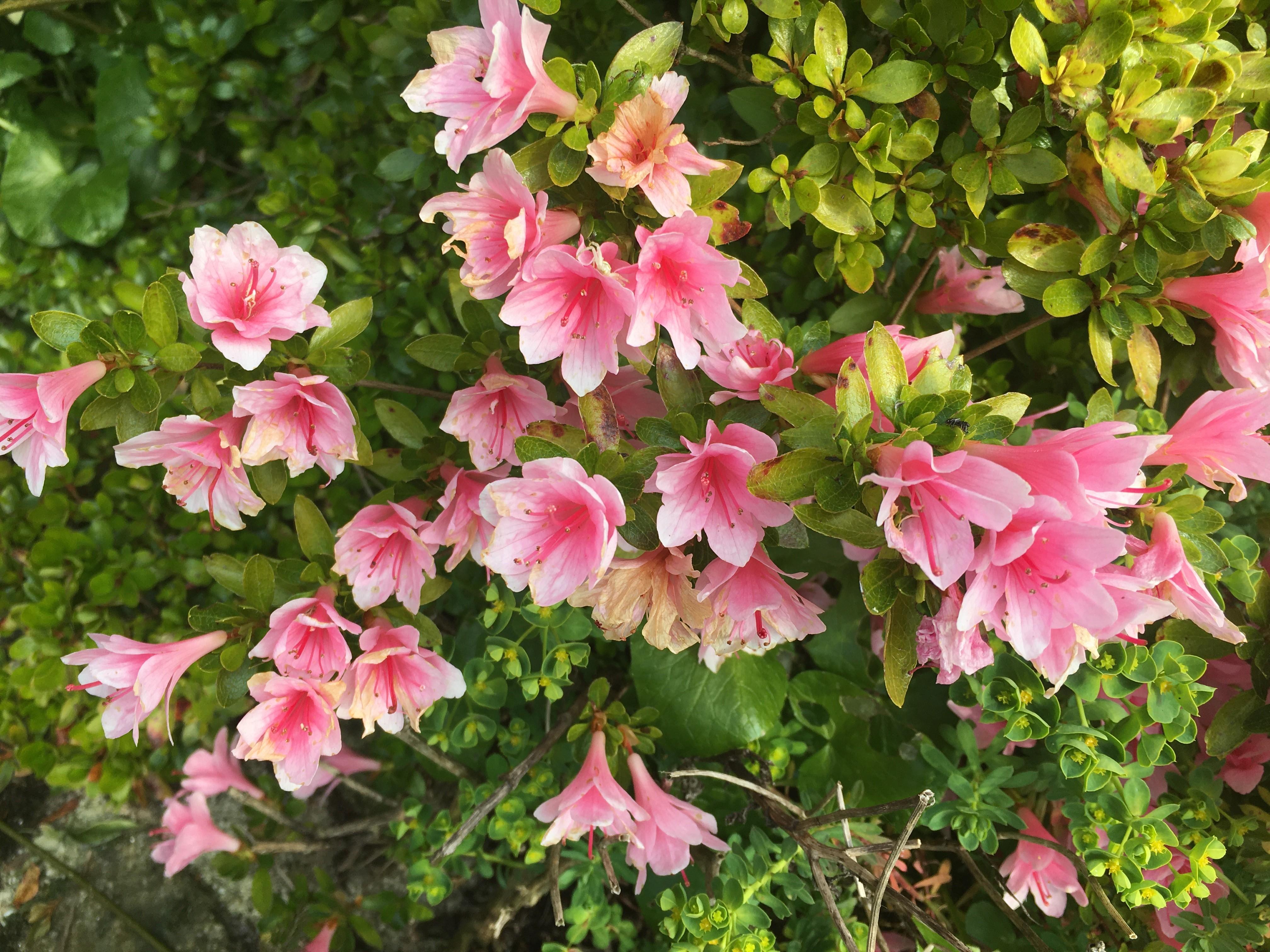 Fleurs d'Azalée rose